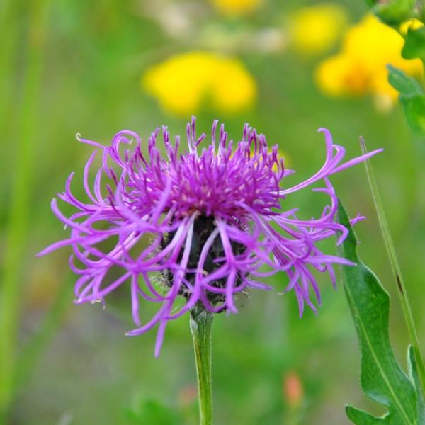 Flockenblume - Foto: Christine Danzer - go4jesus