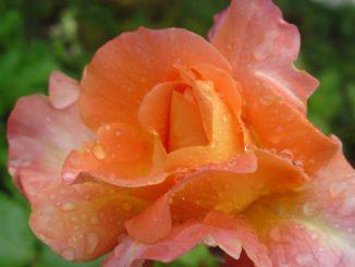 Rose mit Tropfen - Foto: Christine Danzer - go4jesus