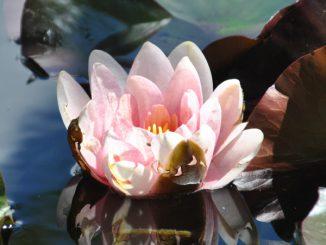 Seerose - Foto: Christine Danzer - go4jesus