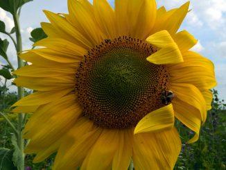 Bild einer Sonnenblume -go4jesus - Foto: Christine Danzer