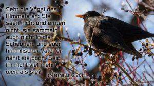 Amsel - mt 6,26 - Bibel - Fabian Will -go4jesus
