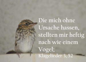 Grauschnäpperjunges -Klagelieder 3,52, Foto: Christine Danzer , go 4 Jesus, Bibel