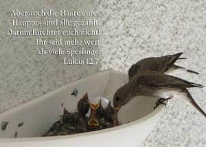 Grauschnäpperpäarchen beim Füttern, Lukas 12, 7, Foto: Christine Danzer, go 4 Jesus, Bibel