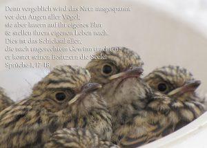 Grauschnäpper im Nest, Sprüche 1, 17-18, Foto: Christine Danzer go 4 Jesus, Bibel