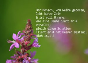 Blutweiderich mit Hiob 141, 2 Foto: Christine Danzer, go 4 Jesus, Bibel, Jesus,