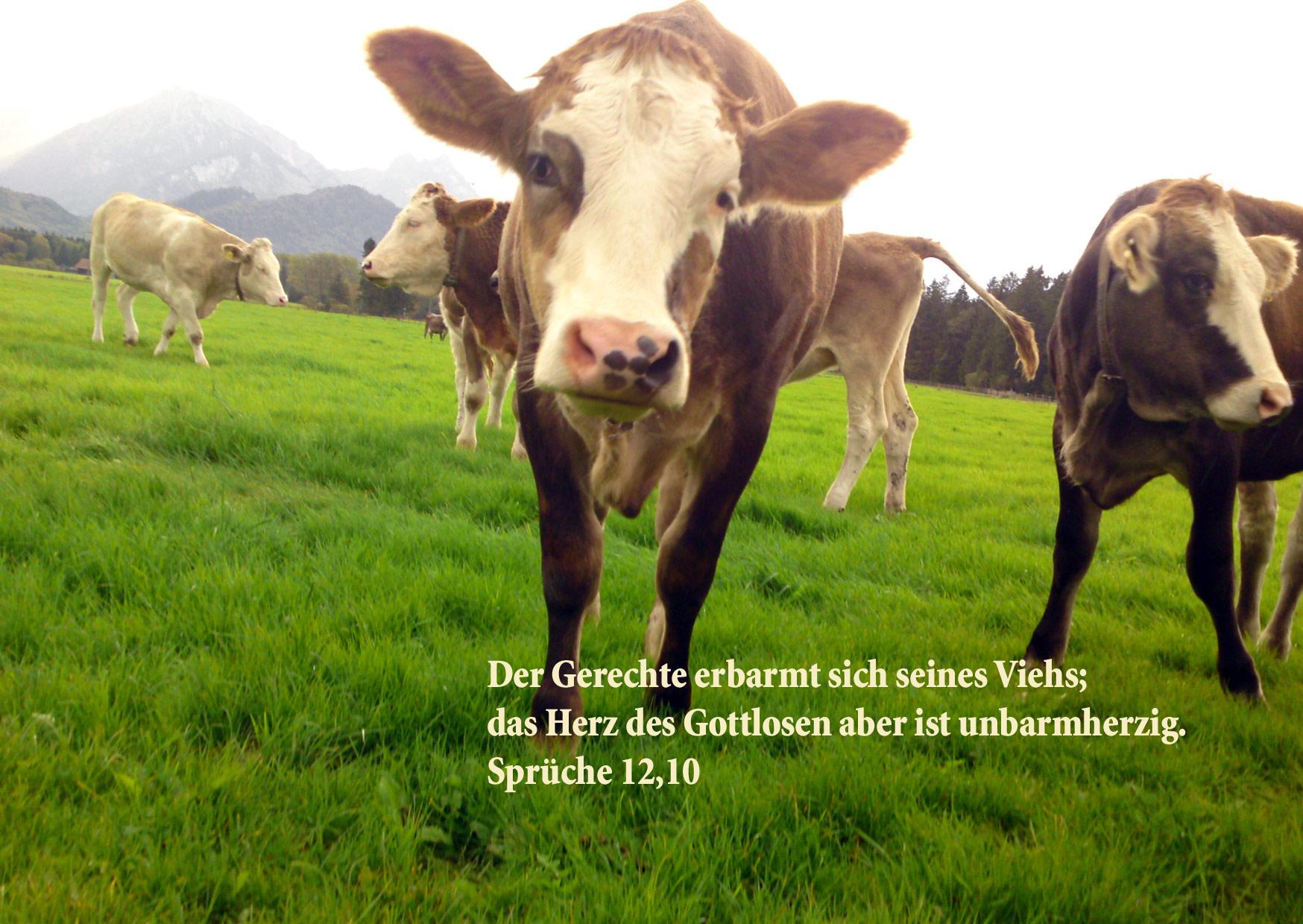 Kühe, Sprüche 12,10, Foto: Christine Danzer go 4 Jesus, Bibel