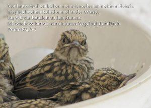 Grauschnäpperjunges, Psalm 102, Foto: Christine Danzer, go 4 Jesus, Bibel,