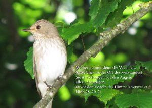Grauschnäpper in den Bäumen, Hiob28, 20-21, Foto: Christine Danzer , go 4 Jesus, Bibel
