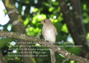 Grauschnäpper Altvogel, Jesaja 10,14, Foto: Christine Danzer, go 4 Jesus, Bibel