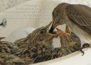 Grauschnäppermutter beim Füttern, Lukas 12,24, Foto: Christine Danzer - go 4 Jesus, Bibel