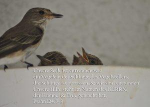Grauschnäpper beim Füttern, Psalm 124:7-8, Foto: Christine Danzer go 4 Jesus, Bibel_ps_124_7_8