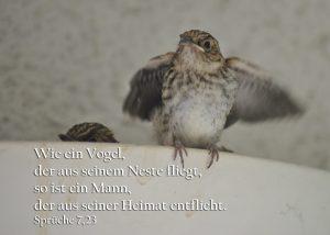 Grauschnäpper , Sprüche 7,23 , Foto: Christine Danzer go 4 Jesus, Bibel